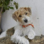 Perro Jack Russell Terrier Pucca