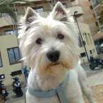 Perro West Highland White Terrier walle