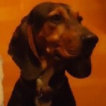 Perro Black and Tan Coonhound samdunga