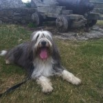 Perro Bearded Collie Has
