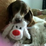 Perro English Springer Spaniel Fafa