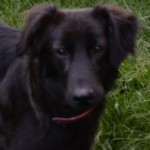 Perro Flat-Coated Retriever Vicky