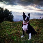 Perro Boston Terrier Hades
