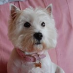 Perro West Highland White Terrier Flossy