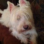 Perro West Highland White Terrier Tuli