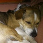 Perro Jack Russell Terrier Willy