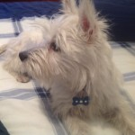 Perro West Highland White Terrier Gary