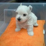 Perro West Highland White Terrier Kike