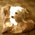 Perro West Highland White Terrier Luna