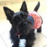 Perro Scottish Terrier Tonka