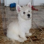 Perro West Highland White Terrier BETTY