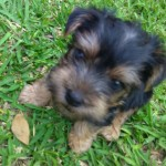 Perro Yorkshire Terrier Fito