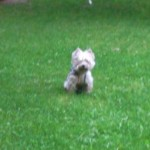 Perro West Highland White Terrier Dama