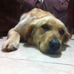 Perro Golden Retriever Luna