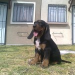 Perro Black and Tan Coonhound conhound