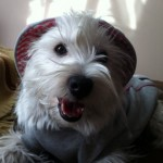 Perro West Highland White Terrier Kiara