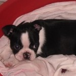 Perro Boston Terrier Jacinta