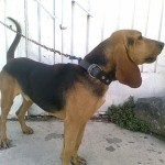 Perro Black and Tan Coonhound Jack