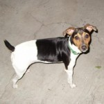 Perro Parson Russell Terrier Ayocote
