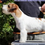 Perro Jack Russell Terrier WILLIAM