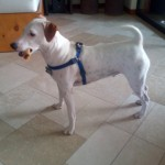 Perro Parson Russell Terrier jack