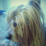 Perro Yorkshire Terrier Brownie