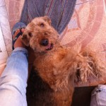 Perro Airedale Terrier China