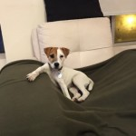 Perro Parson Russell Terrier Bruno