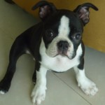 Perro Boston Terrier conga