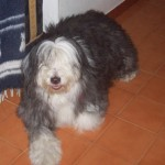 Perro Bearded Collie Grace