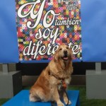 Perro Golden Retriever Gala