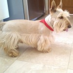 Perro Scottish Terrier Max