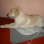Perro Golden Retriever Lazzye
