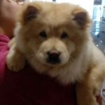 Perro Chow Chow Lilu