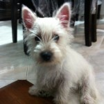 Perro West Highland White Terrier Stuard