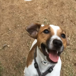 Perro Jack Russell Terrier Lucky