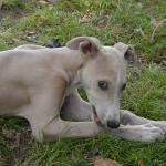 Perro Greyhound fortunata