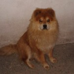Perro Chow Chow Willy