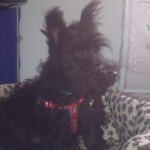 Perro Scottish Terrier aurelio