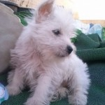 Perro West Highland White Terrier Minnie