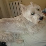 Perro West Highland White Terrier Kora