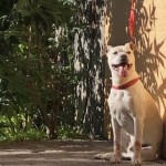 Perro American Pit Bull Terrier Lucky