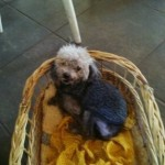 Perro Caniche Toy aaron