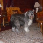 Perro Bearded Collie Talia
