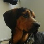 Perro Black and Tan Coonhound Jamaal