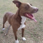 Perro American Staffordshire-Terrier Crash