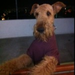 Perro Airedale Terrier SHULAPAZ