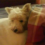 Perro West Highland White Terrier Hanna