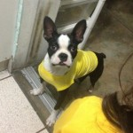 Perro Boston Terrier Luke