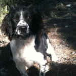 Perro English Springer Spaniel alba